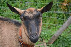 Free Goats, Goat, Goat Antelope, Cow Goat Family Royalty Free Stock Image - 101149916