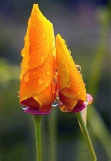 Free Yellow Iris Flower Buds Royalty Free Stock Photos - 101152218