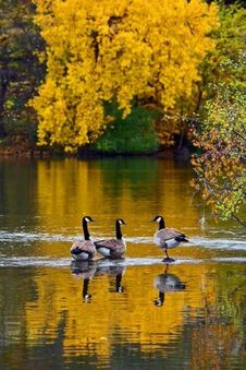 Free Three Canada Geese In Shallow River Royalty Free Stock Images - 101152429