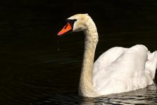 Free Swan, Water Bird, Bird, Ducks Geese And Swans Royalty Free Stock Photo - 101153695
