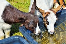 Free Fauna, Goats, Horse Like Mammal, Livestock Stock Images - 101154874