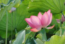 Free Flower, Plant, Lotus, Sacred Lotus Stock Photography - 101154962