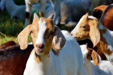 Free Goats, Goat, Cow Goat Family, Livestock Royalty Free Stock Image - 101155726