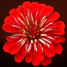 Free Flower, Red, Petal, Close Up Stock Photo - 101156090