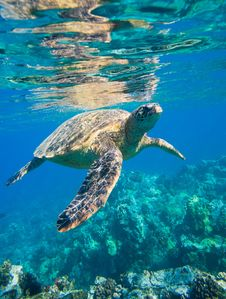 Free Sea Turtle, Loggerhead, Turtle, Ecosystem Stock Images - 101156274
