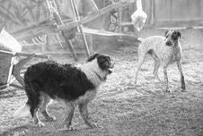 Free Dog, Black And White, Dog Like Mammal, Dog Breed Stock Photography - 101156512