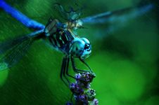 Free Dragonfly, Insect, Dragonflies And Damseflies, Invertebrate Stock Image - 101159271