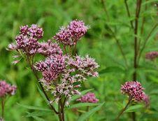 Free Plant, Flower, Flora, Ironweed Stock Image - 101164011