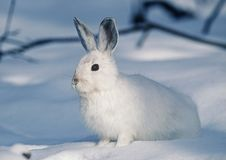 Free Mammal, Rabits And Hares, Hare, Rabbit Royalty Free Stock Images - 101166389