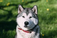 Free Dog Like Mammal, Dog, Dog Breed, Siberian Husky Royalty Free Stock Images - 101171599