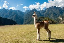 Free Llama, Grassland, Fauna, Ecosystem Royalty Free Stock Photos - 101171848