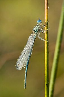 Free Damselfly In Dew-drops Royalty Free Stock Photography - 10120117