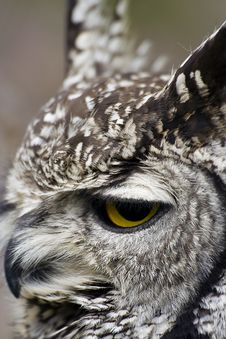 Free Eagle Owl Stock Images - 10120334