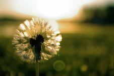 Free Dandelion Dawn Stock Image - 10120491