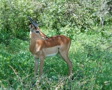 Free Africa Wildlife: Impala Royalty Free Stock Photos - 10121188