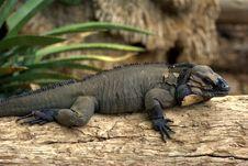 Free Rhinoceros Iguana (Cyclura Cornuta) Royalty Free Stock Photography - 10121777