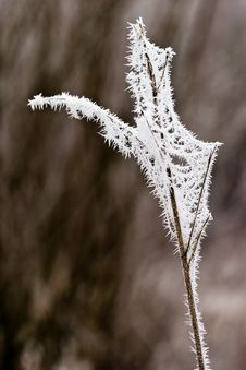 Free Hoar Frost Or Soft Rime On Plants At A Winter Day Stock Photography - 10121912