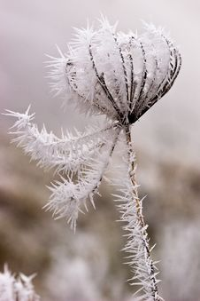 Free Hoar Frost Or Soft Rime On Plants At A Winter Day Royalty Free Stock Image - 10121986