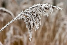 Free Hoar Frost Or Soft Rime On Plants At A Winter Day Stock Photography - 10122062
