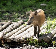 Free Wild Pig Stock Photos - 10123263