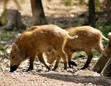 Free Wild Pigs Royalty Free Stock Photo - 10123385