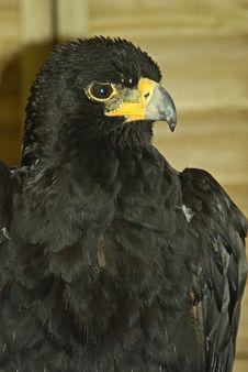 Free Verreaux S Eagle Royalty Free Stock Photo - 10123485