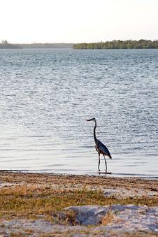 Free Blue Heron Stock Photos - 10125313