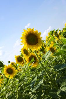 Free Sunflowers Stock Image - 10125751