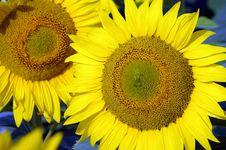 Free Sunflower - Detail Royalty Free Stock Photos - 10125818