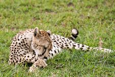 Cheetah Cleaning Itself Royalty Free Stock Photo