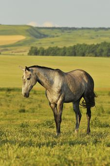 Free The Gray Horse On The Meadow Stock Photo - 10129810
