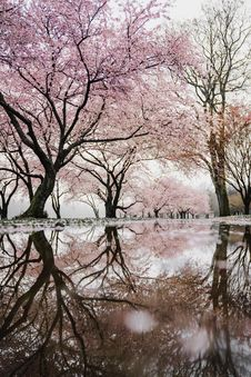 Free Tree, Reflection, Pink, Flower Stock Photo - 101221260