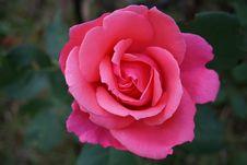 Free Rose, Flower, Rose Family, Pink Royalty Free Stock Image - 101228126