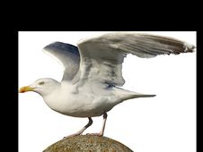 Free Bird, Gull, Beak, European Herring Gull Stock Photography - 101228412