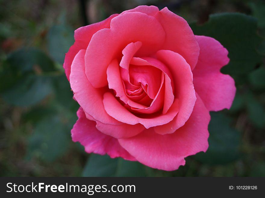 Rose, Flower, Rose Family, Pink