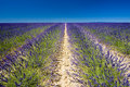 Free Lavender Field Stock Images - 10132074