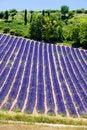 Free Lavender Field Stock Image - 10132201
