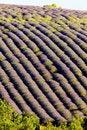 Free Lavender Field Stock Photo - 10132550