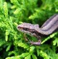 Free Lizard. Royalty Free Stock Photo - 10133005