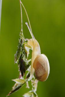 Free Little Snail. Royalty Free Stock Photos - 10130548