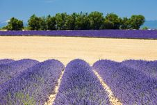 Free Lavender Field Stock Image - 10131961