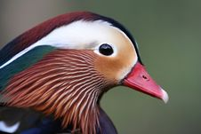 Free Mandarin Duck Portrait Royalty Free Stock Photos - 10132158