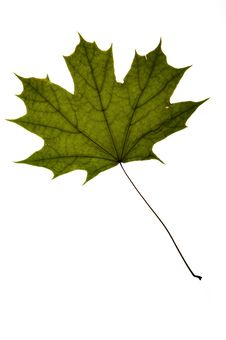 Free Dry Green Maple Tree Leaf Royalty Free Stock Photo - 10132515