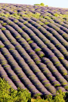 Free Lavender Field Stock Photo - 10132550