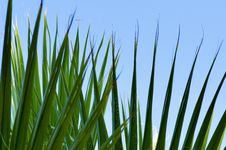 Free Green Palm Leaf Royalty Free Stock Photography - 10132557