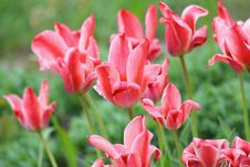 Free Scarlet Tulips Stock Photography - 10132562