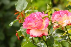 Free Blooming And Fading Stock Photography - 10132572