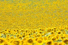 Free Sunflower Field Stock Photography - 10132682