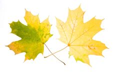 Free Maple Leaves Royalty Free Stock Image - 10132706