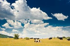 Free Cows At Meadow Stock Image - 10132811